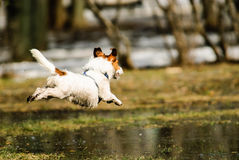 Spring joy at park: dog jumping over melting snow puddles Royalty Free Stock Photography