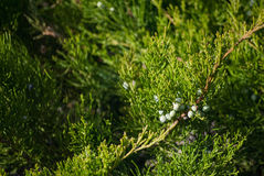 Spring Juniper, branches with berries. Color photography stock photography