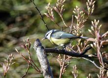 Bluetit with a seed stock images