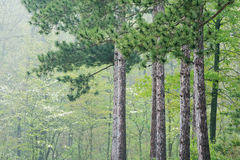 Spring, Kellogg Forest Royalty Free Stock Photo