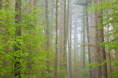 Spring, Kellogg Forest in Fog Royalty Free Stock Images
