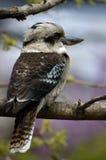 Spring Kookaburra. Australian Kookaburra resting on a tree limb with spring colors blurred in the background Stock Photo