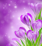 Spring krokusbloemen op Stock Foto