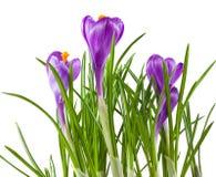 Spring krokussen op Royalty-vrije Stock Afbeelding