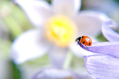 Spring ladybird Royalty Free Stock Photos