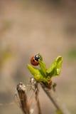 Spring ladybug Royalty Free Stock Image