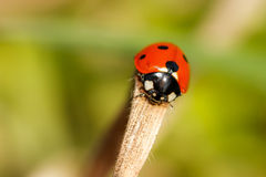 Spring Ladybug. Macro Picture of a lovely red Ladybug in Spring. Shot on a warm afternoon in Bavaria Stock Images