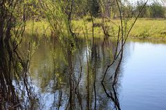 Spring lake with clear clear water and young green leaves stock photos