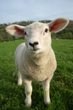 Spring Lamb Royalty Free Stock Photos