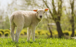 Spring lamb Royalty Free Stock Images