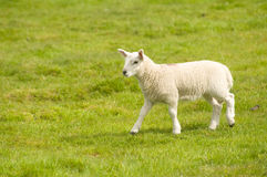 Spring lamb. Stock Photography