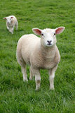 Spring Lamb. Standing in a Green Meadow Royalty Free Stock Image