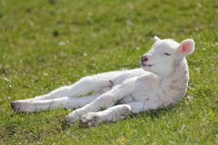 Spring lamb. Cute adorable newborn Spring lamb warming up in the sun Stock Photography