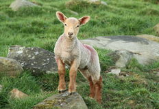 Spring Lamb. Young lamb standing on a rock royalty free stock photography
