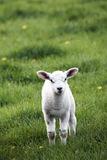 Spring Lamb. A solitary lamb in a field at spring time Royalty Free Stock Photos