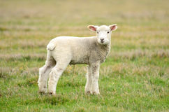 Spring Lamb Stock Photo