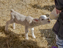 Spring Lamb. Being bottle fed Royalty Free Stock Photography