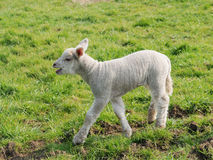 Spring Lamb. In a Green Field Royalty Free Stock Photography