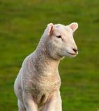 Spring Lamb. Nice lamb in the warm spring sunlight Stock Image