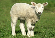 Spring Lamb. A spring lamb standing in grassy field royalty free stock image