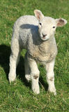 Spring lamb. A spring lamb standing in a grassy field stock photos