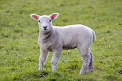 Spring lamb. Curious gaze from a cute spring lamb Royalty Free Stock Image