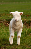 Spring lamb. A cute little spring lamb royalty free stock images