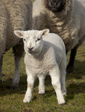 Spring lamb. With sheep in Lancashire UK stock photo