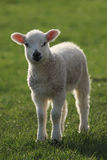 Spring Lamb. A spring lamb in a grass field backlit with evening light royalty free stock photography