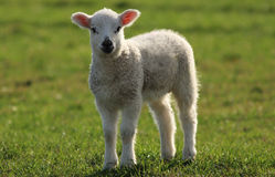 Spring Lamb. A spring lamb in a grass field backlit with evening light stock image