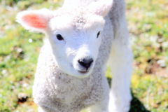Spring Lamb Stock Photo