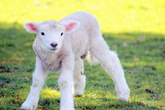 Spring Lamb Stock Photos