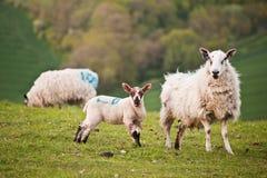 Spring lamb and ewe Stock Image