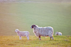 Spring lamb and ewe sheep in sunrise landscape Royalty Free Stock Photo