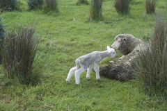 Spring Lamb. While on the farm in Australia in Spring the new baby lambs and mothers scatter the field Stock Photos
