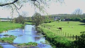 Spring Lamb Feeding from a Trough in a Farm Field