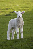 Spring lamb in a field. Curious gaze from a cute spring lamb royalty free stock photography