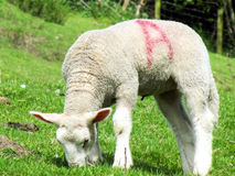 Spring lamb grazing Royalty Free Stock Photo