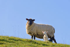 Spring lamb hillside Royalty Free Stock Photo