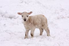 Spring Lamb In The Snow Royalty Free Stock Image