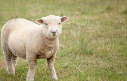 Spring Lamb Royalty Free Stock Photo
