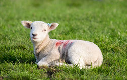 Spring Lamb lying in field Royalty Free Stock Image