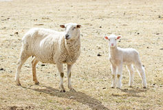 Spring Lamb With Mom Royalty Free Stock Image