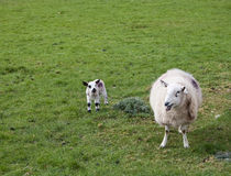 Spring lamb and mother Royalty Free Stock Image