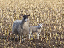 Spring lamb and mother Stock Image