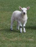 Spring lamb Stock Image
