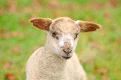 Spring Lamb Royalty Free Stock Photos