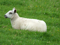 Spring lamb sitting in a green field in profile Stock Photos
