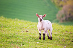 Spring lamb in Spring rural farm landscape Royalty Free Stock Photo