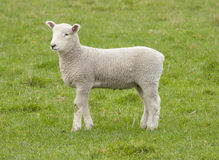 Spring Lamb. Standing in a paddock Royalty Free Stock Photos